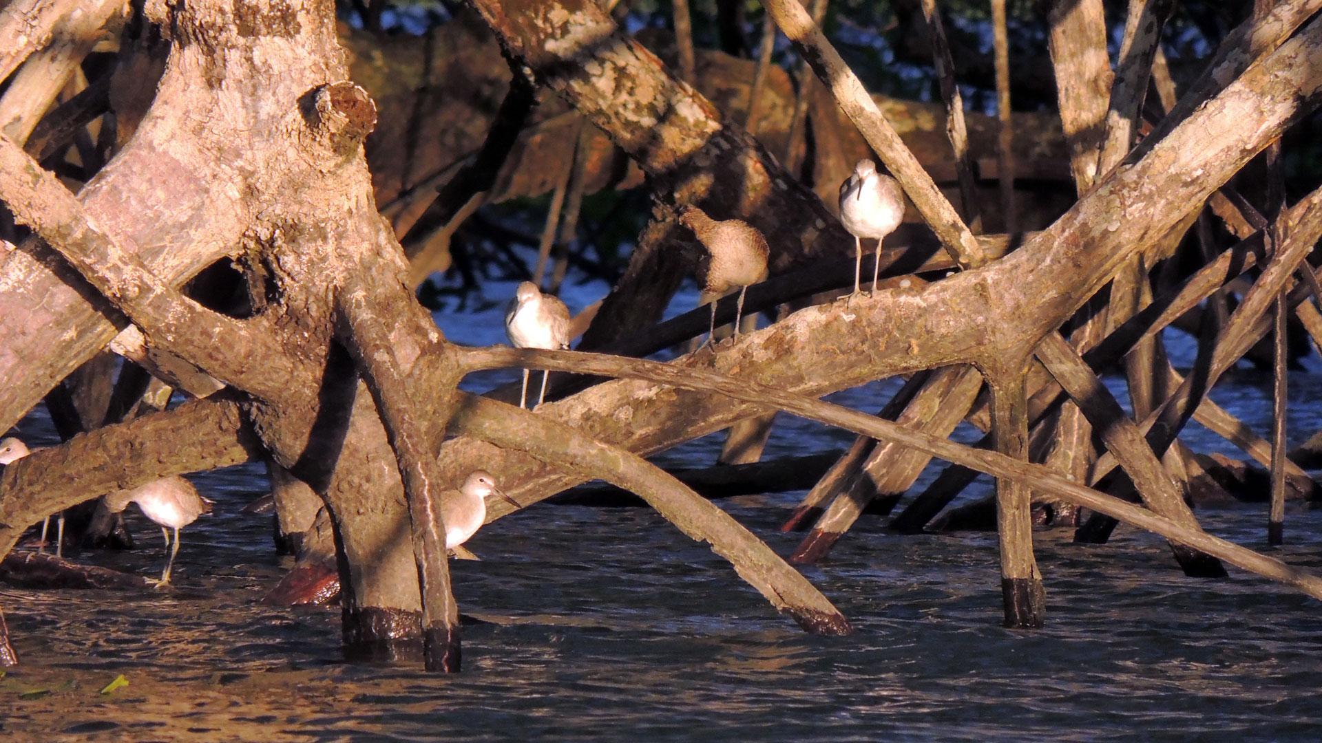 Fotografía de aves en las raices de los manglares