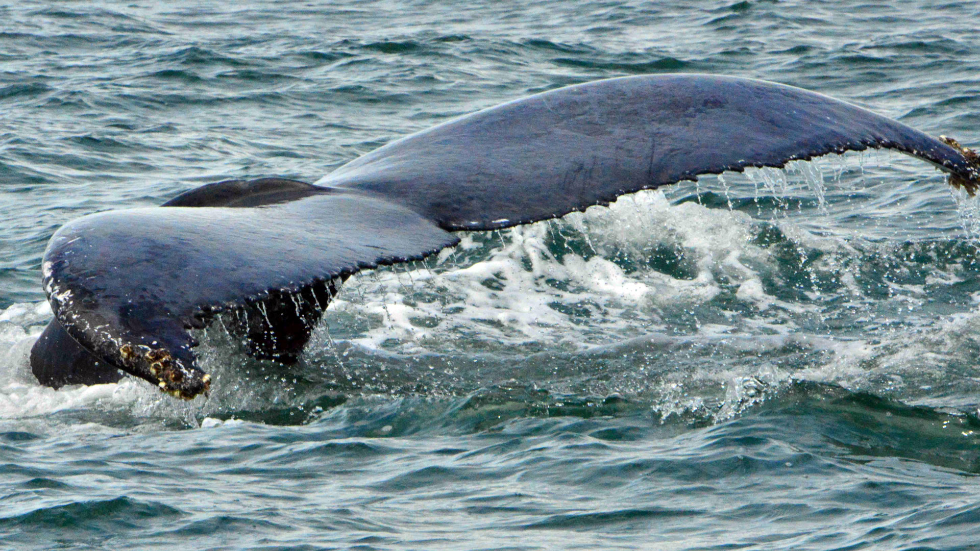 Fotografía de la cola de una ballena