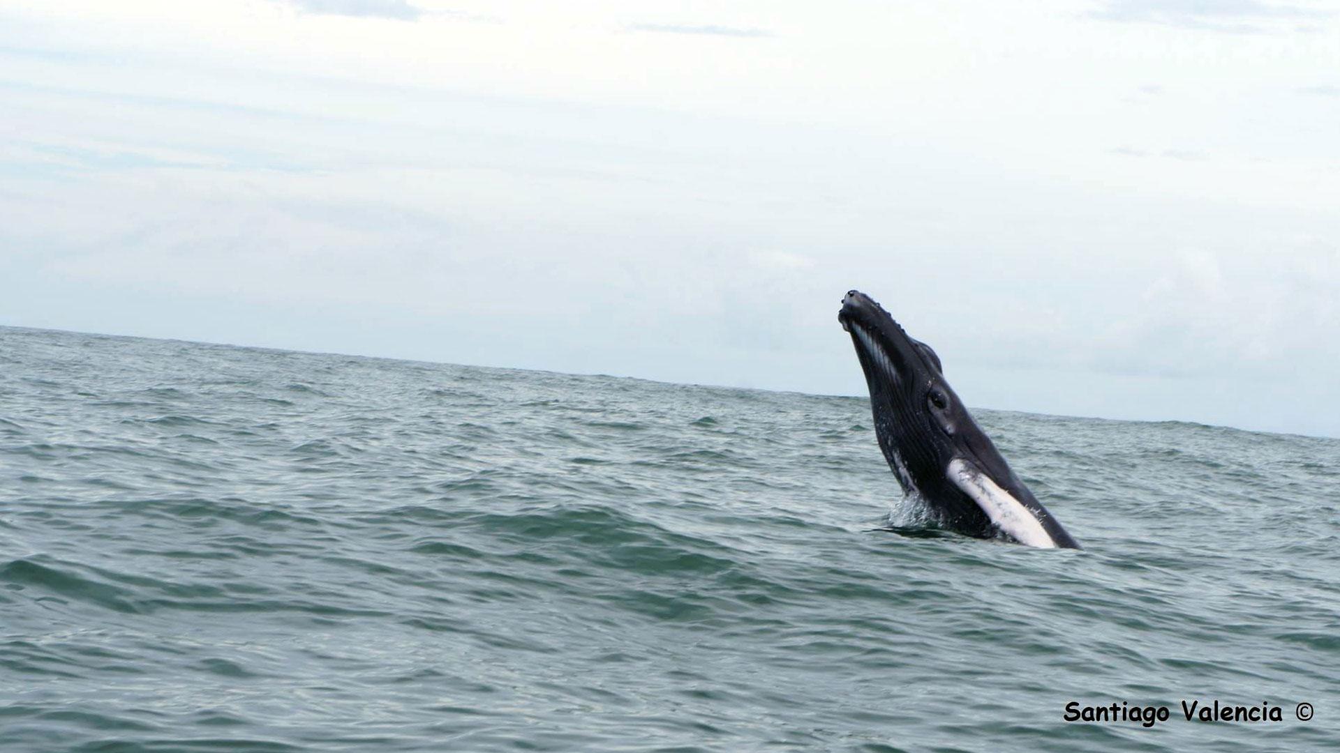 Fotografía de una ballena saltando del agua en Bahía Málaga