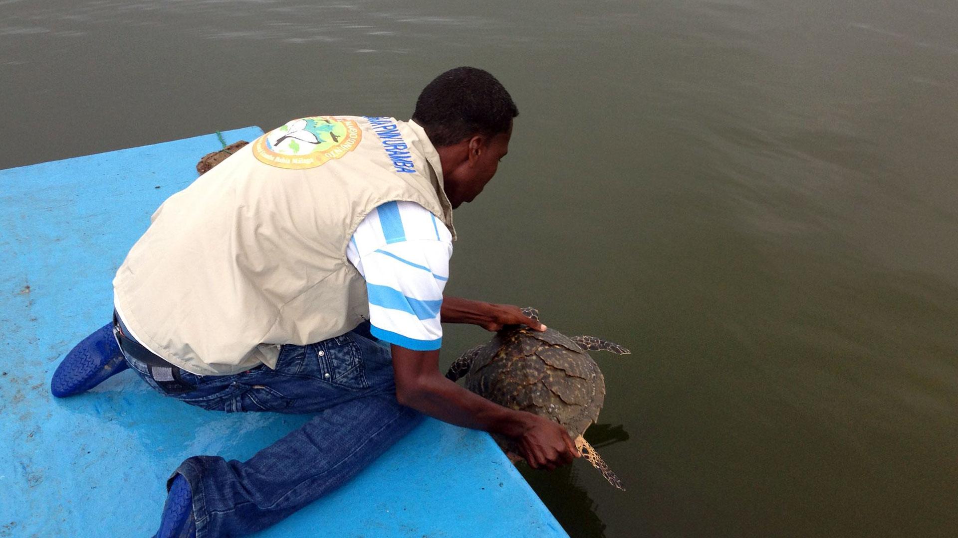 Fotografía de un guía de Ecomanglar liberando una tortuga en el mar